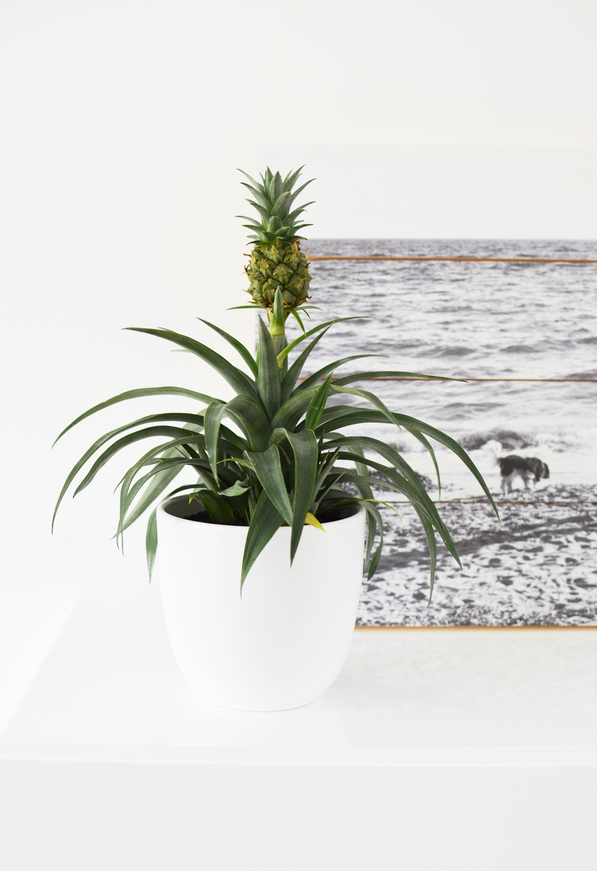 Ananasplant 2