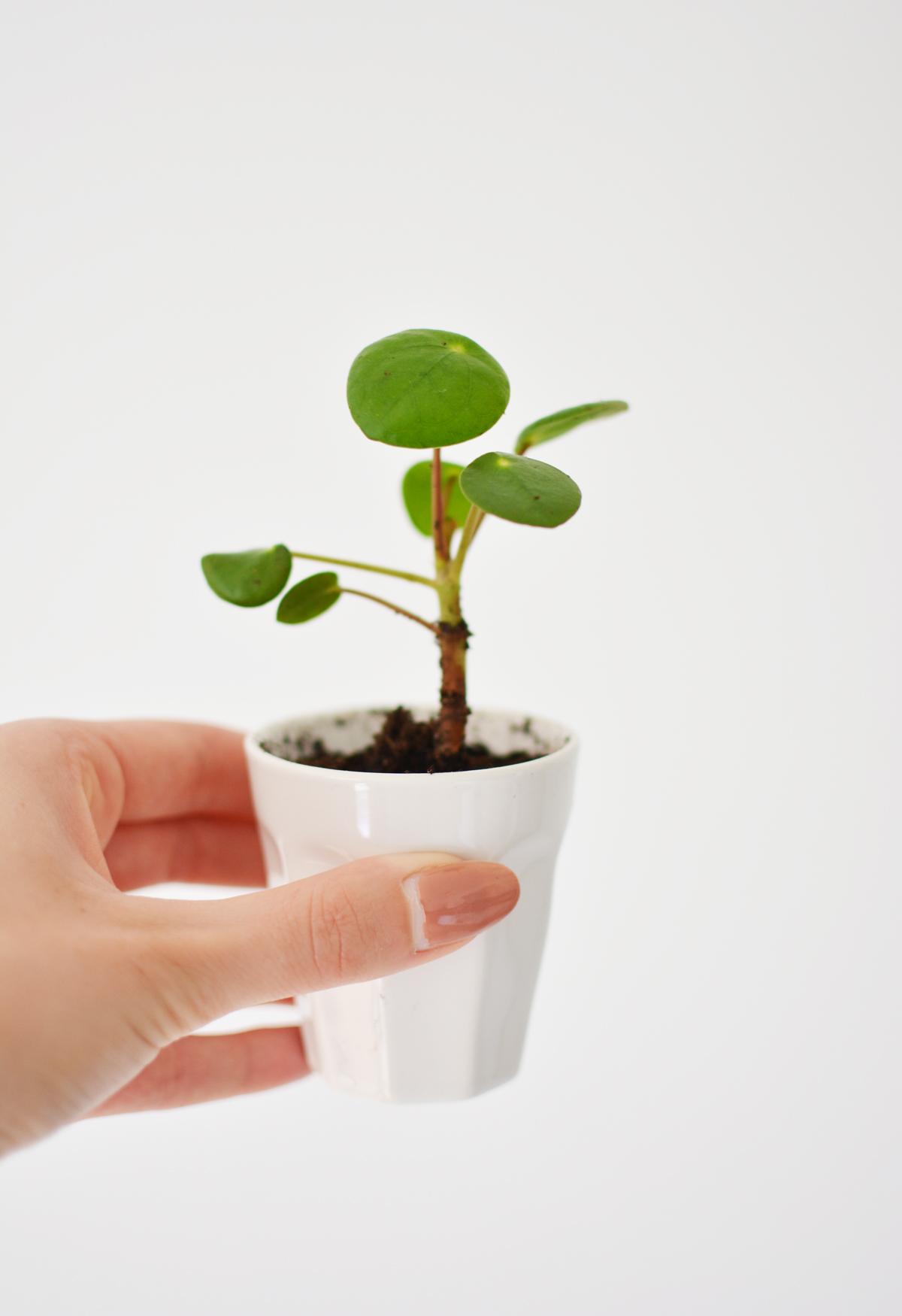 Pannenkoekplant 23