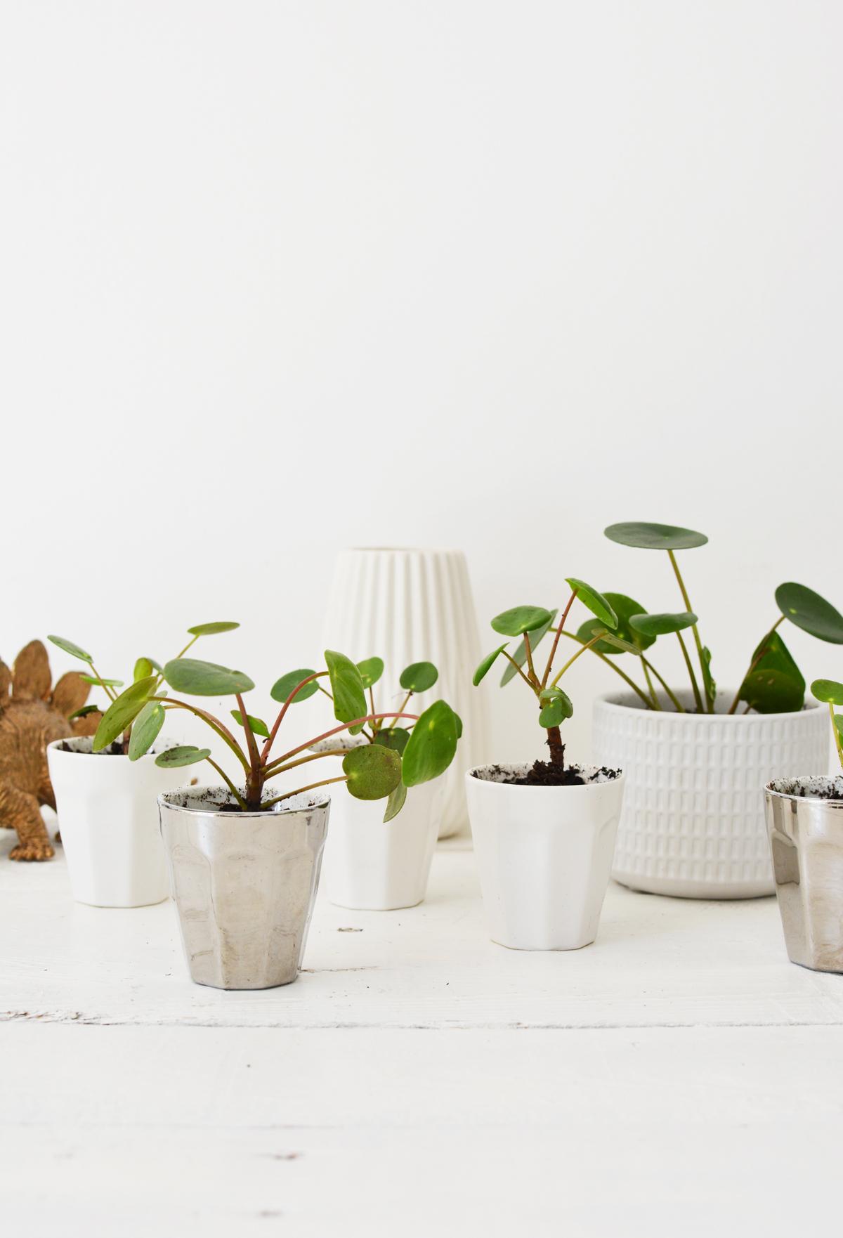 Pannenkoekplant 25
