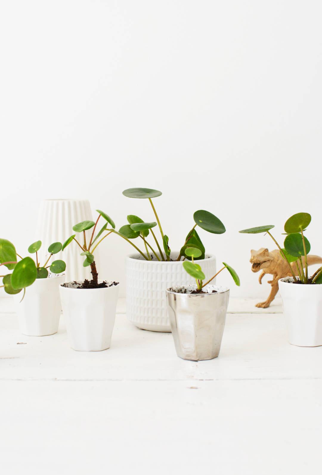 Pannenkoekplant 26