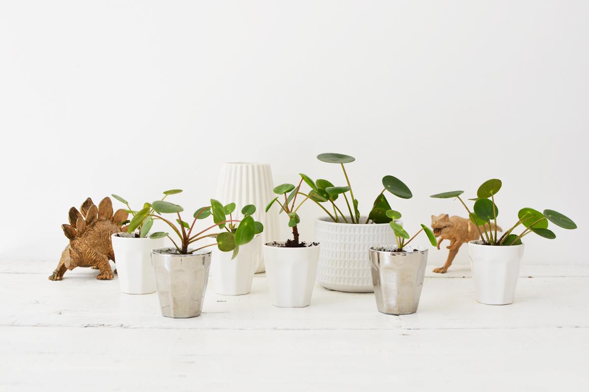 Pannenkoekplant 4